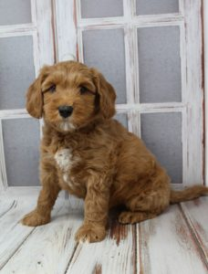 Portland Australian Labradoodle breeders Oregon Washington