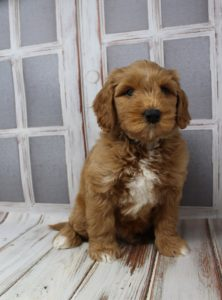 Washington labradoodles puppy breeders