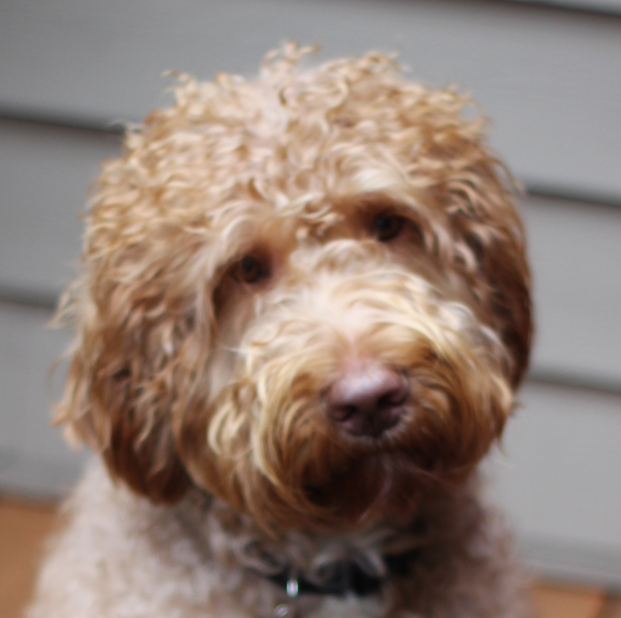 Labradoodledoo's McCoy (Leo the Lion) brings us standard size pups in various colors
